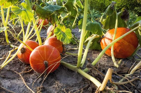 Seven steps to growing perfect pumpkins in time for Halloween